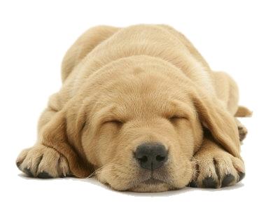 Slapende labrador puppy