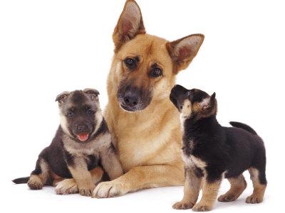 Duitse herder met 2 puppies