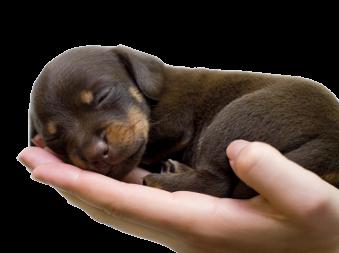 Puppy dat op een mensenhand slaapt, een mooie manier van socialisatie
